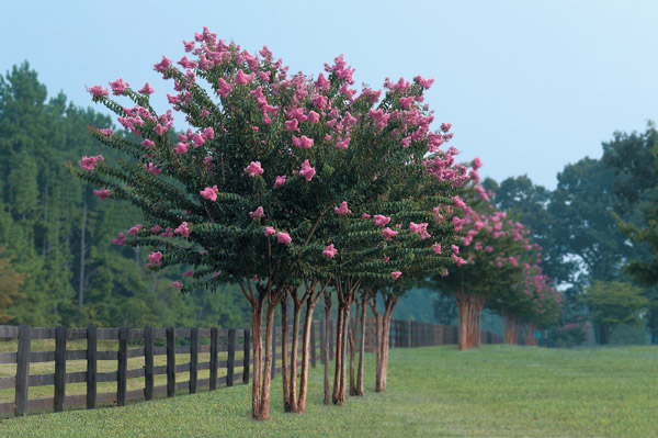 Keep Pests Away From Crape Myrtles Wells Brothers Pet