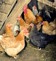 Keeping 3 - 7 Month Chickens