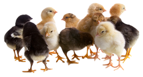 2-3 Week Old Chicks