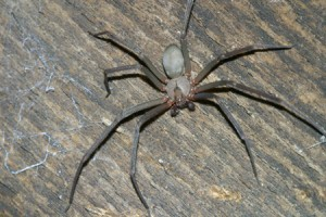 brown-recluse-dark-phase-small-300x200