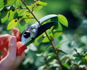 Pruning Season Tips in Dick's Garden Blog at Wells Brothers Pet, Lawn & Garden Supply in Plano, Texas.