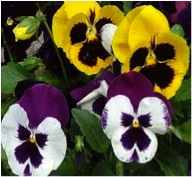Before planting pansies, swing by Wells Brothers Pet, Lawn, and Garden Supply for all your soil amendments and deterrents.