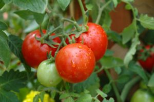 Growing tomatoes in hot weather