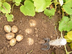Potato Growing