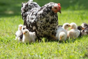 Raising backyard chickens Wells Brothers Pet, Lawn & Garden Plano, TX