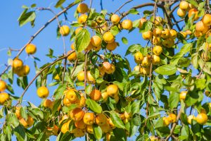 fruit trees in texas