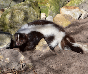 Tips and tricks for dealing with Skunks.