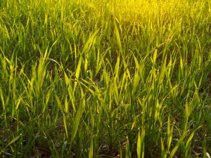 Overseeding your lawn is a way to keep weeds to a minimum. Pick up winter grass seed at Wells Brothers in Plano, TX.
